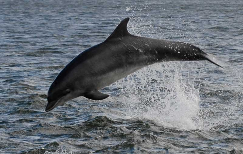 dolphin images in the moray firth